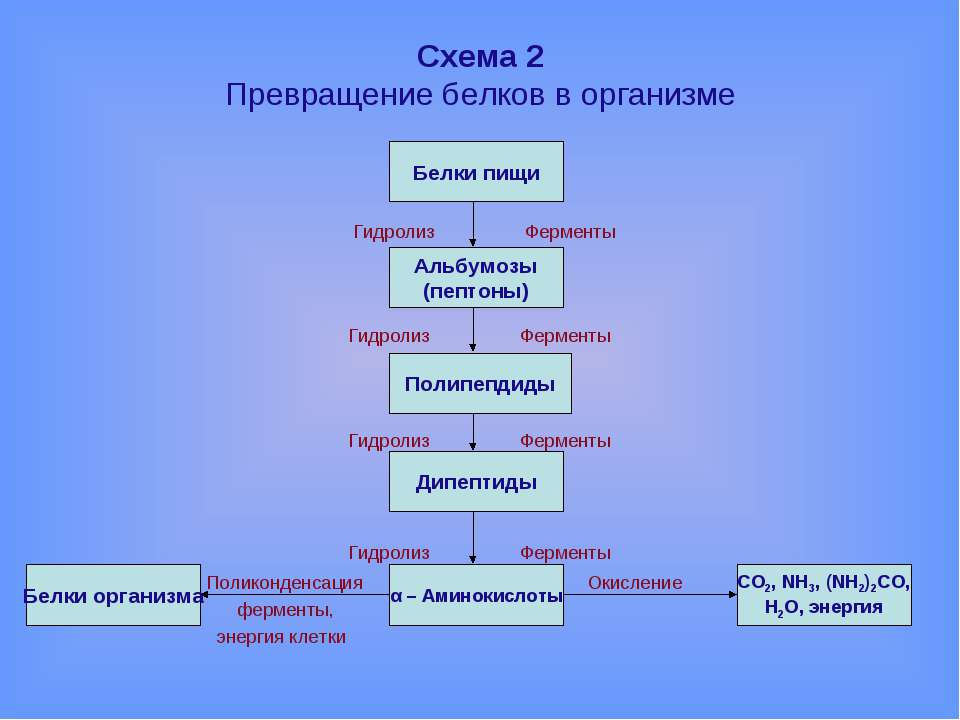 Схема 2 Превращение белков в организме Гидролиз Ферменты Гидролиз Ферменты Ги...