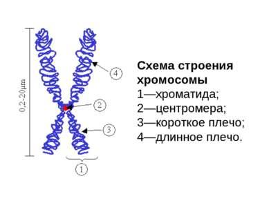 Схема строения хромосомы 1—хроматида; 2—центромер...