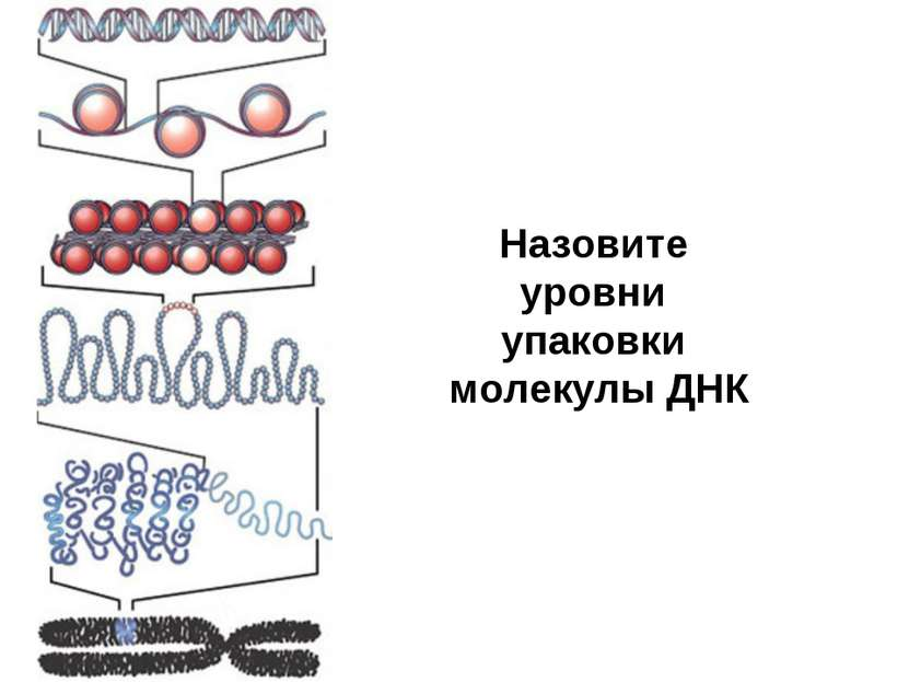 Назовите уровни упаковки молекулы ДНК