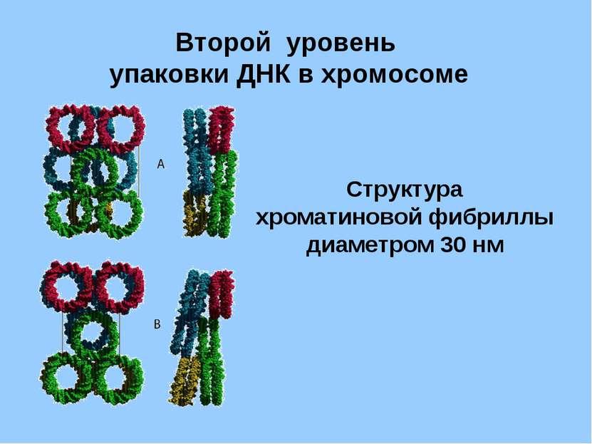 Второй уровень упаковки ДНК в хромосоме Структура хроматиновой фибриллы диаме...