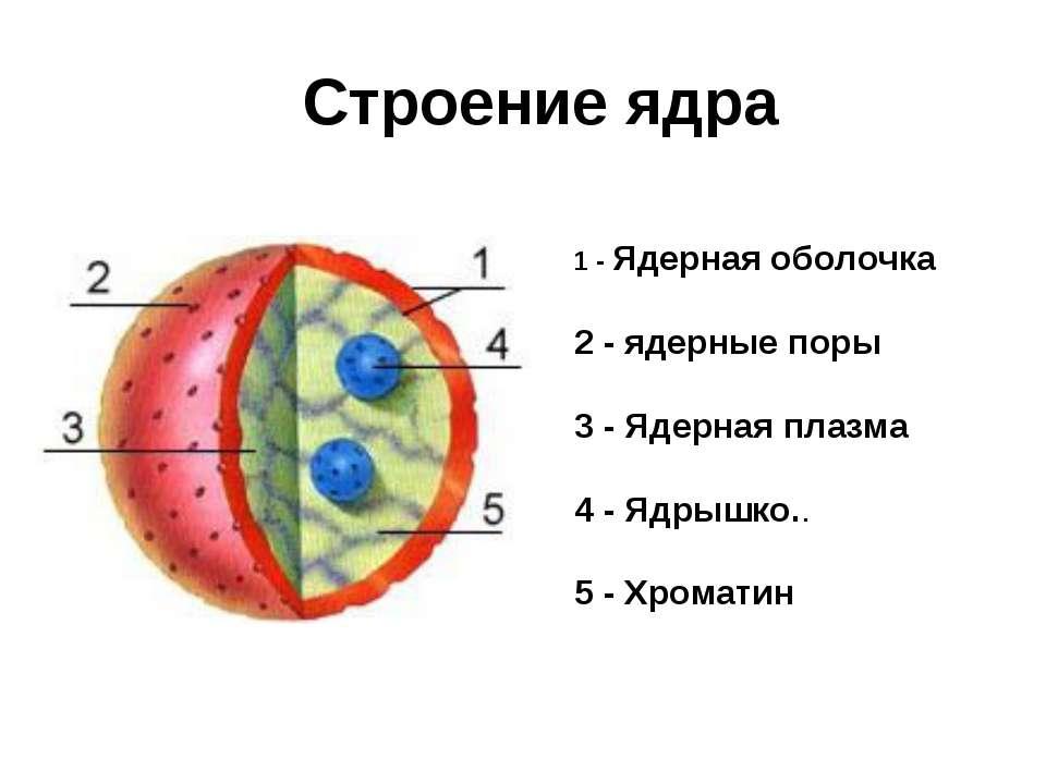 1 - Ядерная оболочка 2 - ядерные поры 3 - Ядерная плазма 4 - Ядрышко.. 5 - Хр...