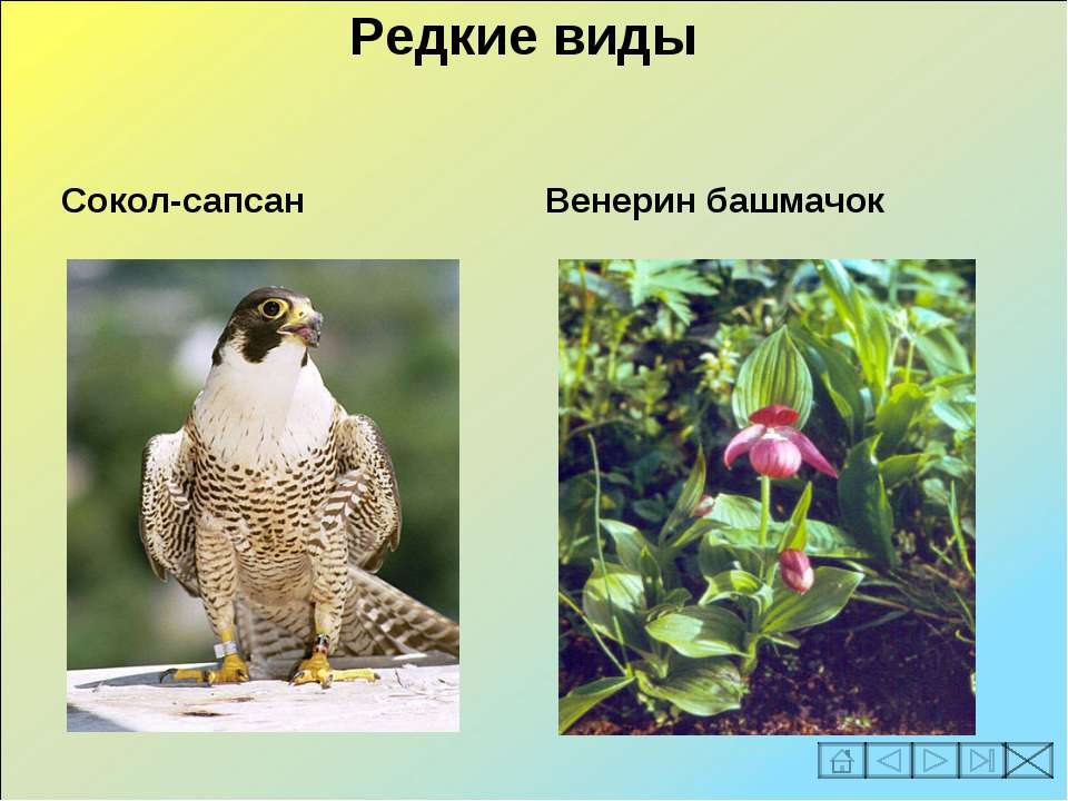 Редкие виды Сокол-сапсан Венерин башмачок