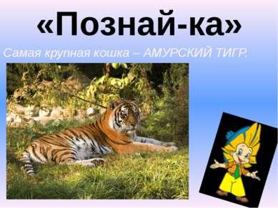 «Познай-ка» 3. Самая крупная кошка – АМУРСКИЙ ТИГР.