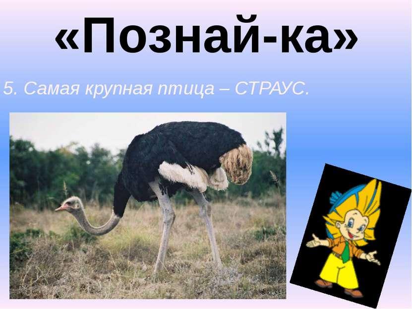 «Познай-ка» 5. Самая крупная птица – СТРАУС.