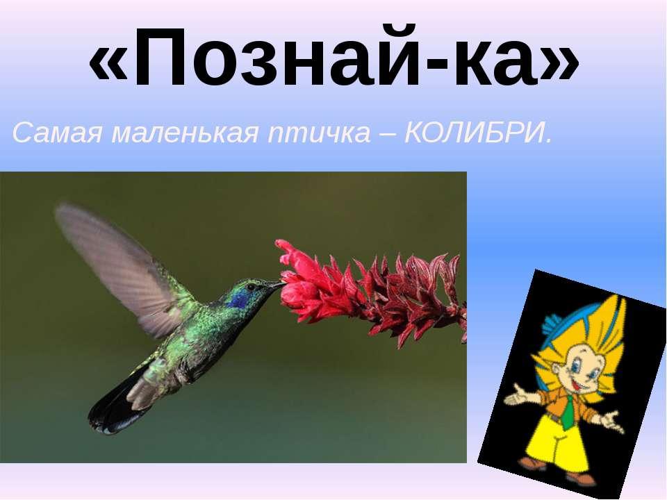 «Познай-ка» 4. Самая маленькая птичка – КОЛИБРИ.