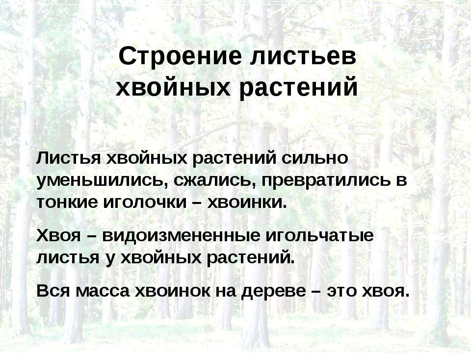 Строение листьев хвойных растений Листья хвойных растений сильно уменьшились,...