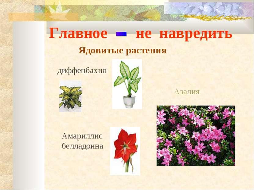 Главное не навредить Ядовитые растения Амариллис белладонна Азалия диффенбахия