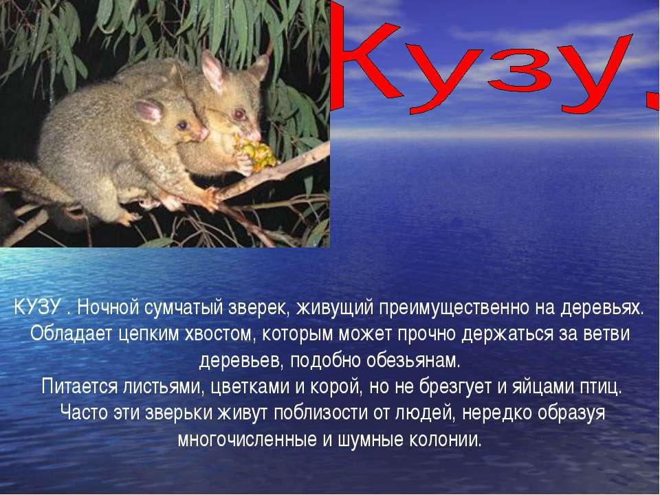 КУЗУ . Ночной сумчатый зверек, живущий преимущественно на деревьях. Обладает ...