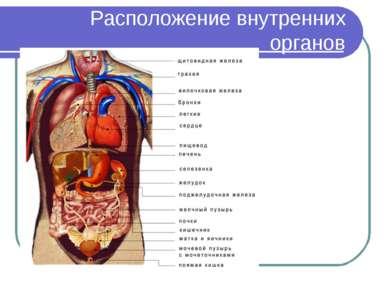 Расположение внутренних органов