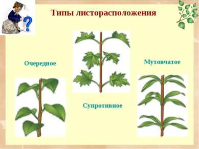 Типы листорасположения Очередное Мутовчатое Супротивное