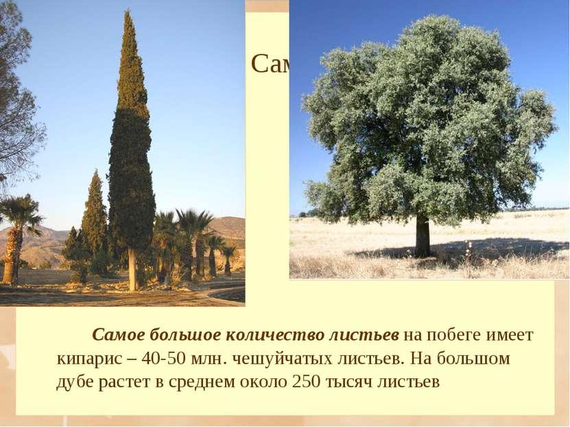 Самое большое количество листьев на побеге имеет кипарис – 40-50 млн. чешуйча...