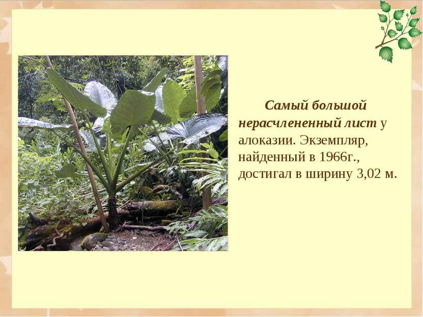 Самый большой нерасчлененный лист у алоказии. Экземпляр, найденный в 1966г., ...