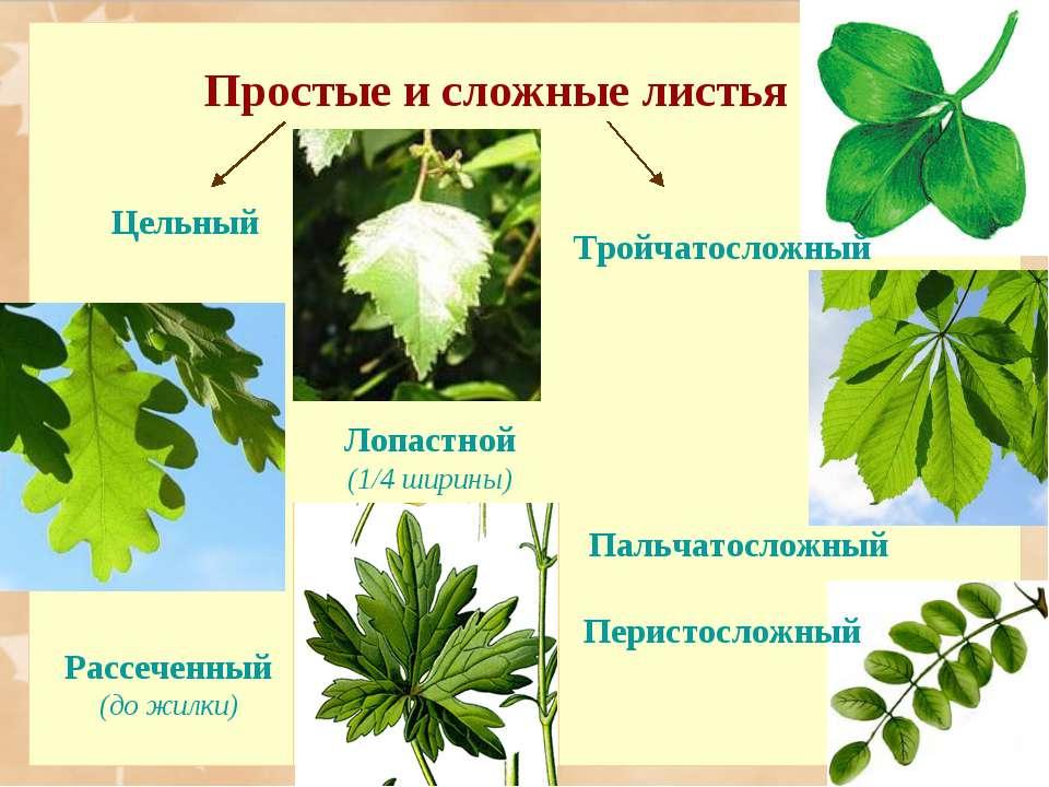 Простые и сложные листья Цельный Лопастной (1/4 ширины) Рассеченный (до жилки...