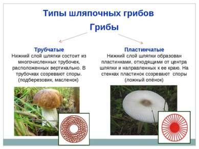 Типы шляпочных грибов Грибы Трубчатые Нижний слой шляпки состоит из многочисл...