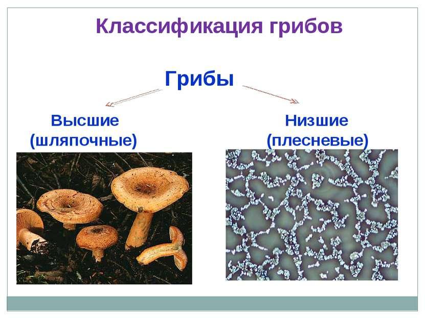 Грибы Высшие Низшие (шляпочные) (плесневые) Классификация грибов
