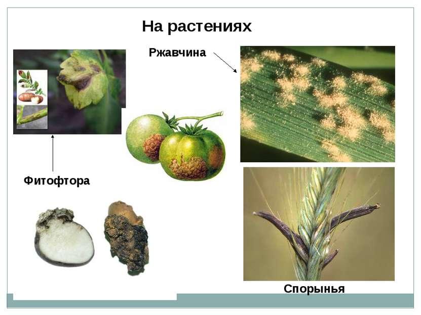Фитофтора Ржавчина Спорынья На растениях