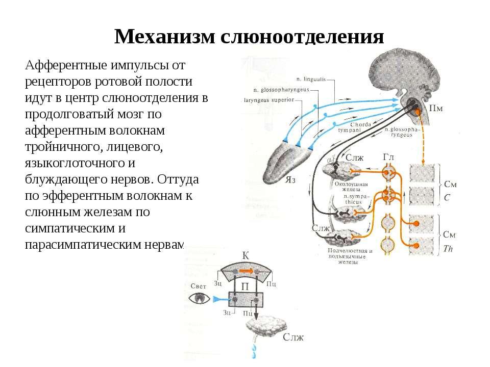 Механизм слюноотделения Афферентные импульсы от рецепторов ротовой полости ид...
