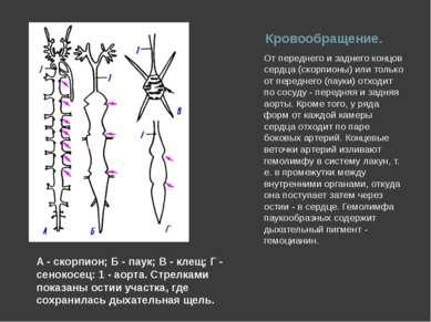 Кровообращение. От переднего и заднего концов сердца (скорпионы) или только о...