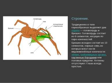 Строение. Традиционно в теле паукообразных выделяют два отдела— головогрудь ...