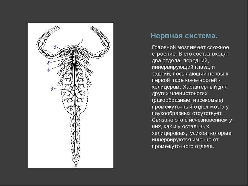 Нервная система. Головной мозг имеет сложное строение. В его состав входят дв...
