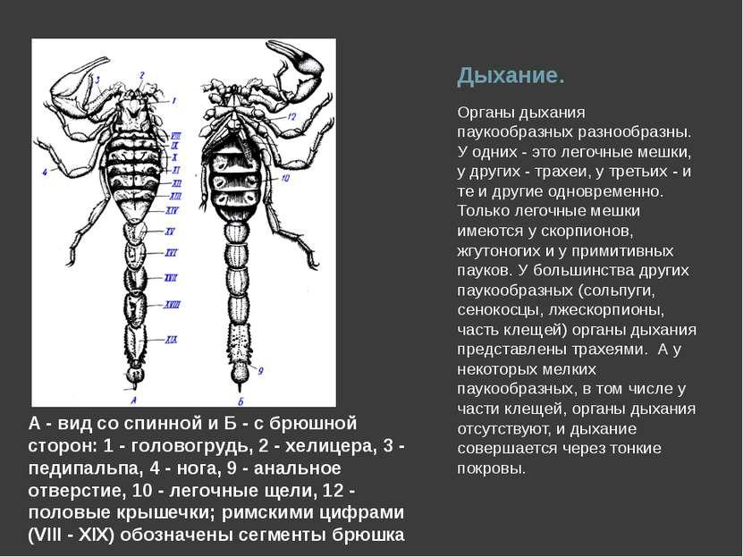 Дыхание. Органы дыхания паукообразных разнообразны. У одних - это легочные ме...