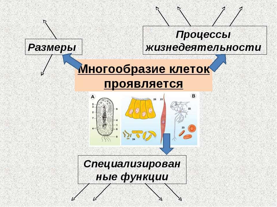 Размеры Процессы жизнедеятельности Специализированные функции