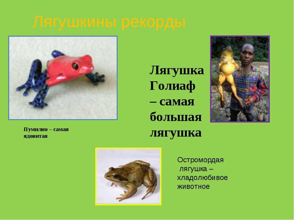 Лягушка Голиаф – самая большая лягушка Пумилио – самая ядовитая Лягушкины рек...