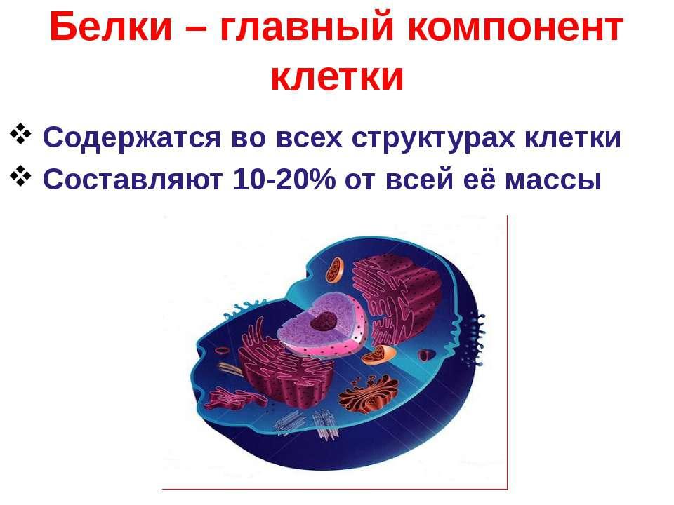 Белки – главный компонент клетки Содержатся во всех структурах клетки Составл...