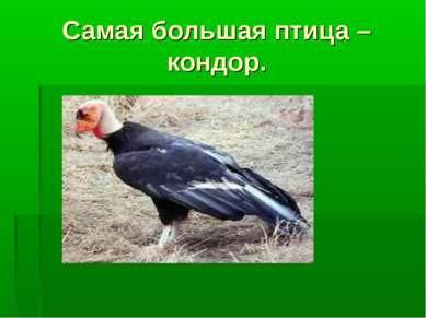 Самая большая птица – кондор.
