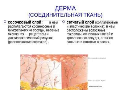 ДЕРМА (СОЕДИНИТЕЛЬНАЯ ТКАНЬ) сосочковый слой: в нем располагаются кровеносные...