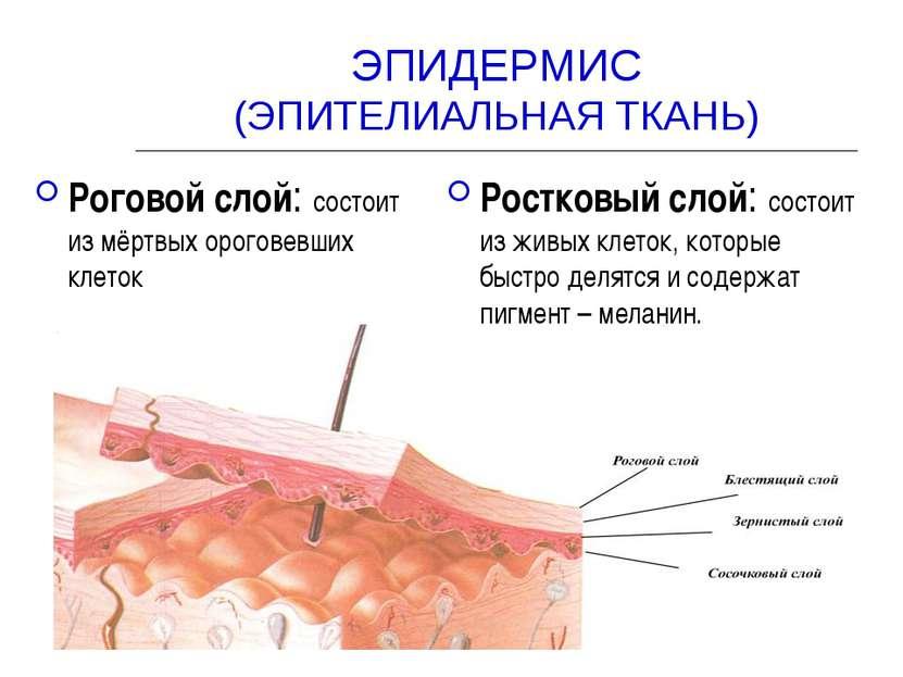 ЭПИДЕРМИС (ЭПИТЕЛИАЛЬНАЯ ТКАНЬ) Роговой слой: состоит из мёртвых ороговевших ...