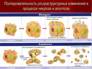 Последовательность ультраструктурных изменений в процессе некроза и апоптоза