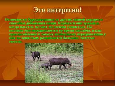 Это интересно! Отличаются бородавочники от других свиней кормом и способом до...