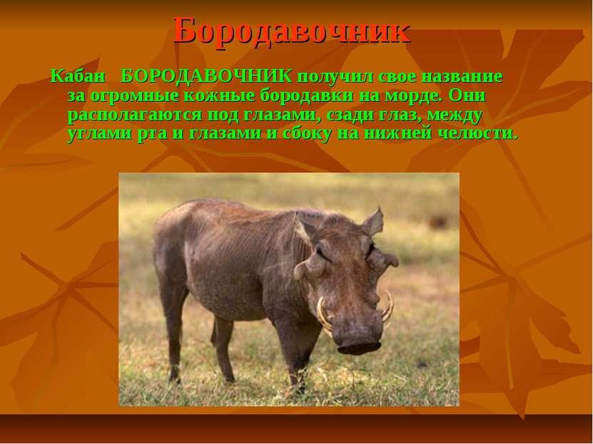 Бородавочник Кабан БОРОДАВОЧНИК получил свое название за огромные кожные боро...