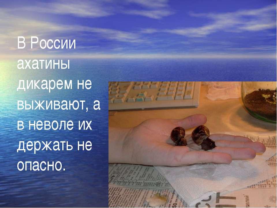 В России ахатины дикарем не выживают, а в неволе их держать не опасно.