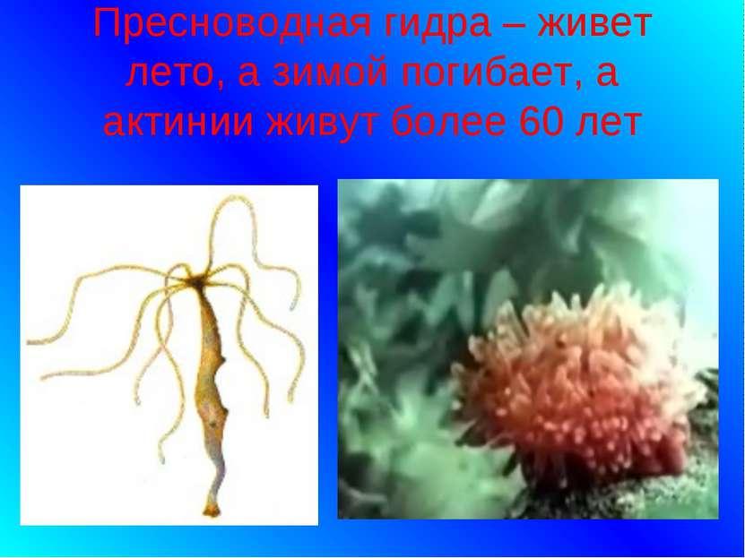 Пресноводная гидра – живет лето, а зимой погибает, а актинии живут более 60 лет