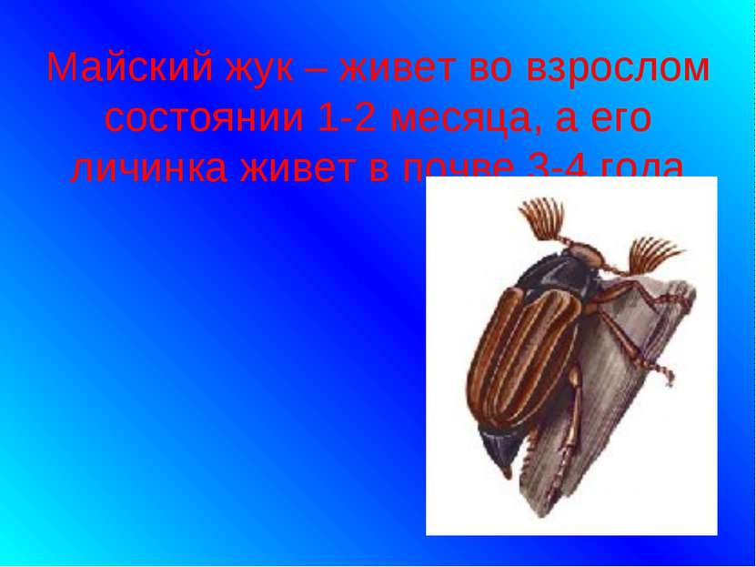 Майский жук – живет во взрослом состоянии 1-2 месяца, а его личинка живет в п...