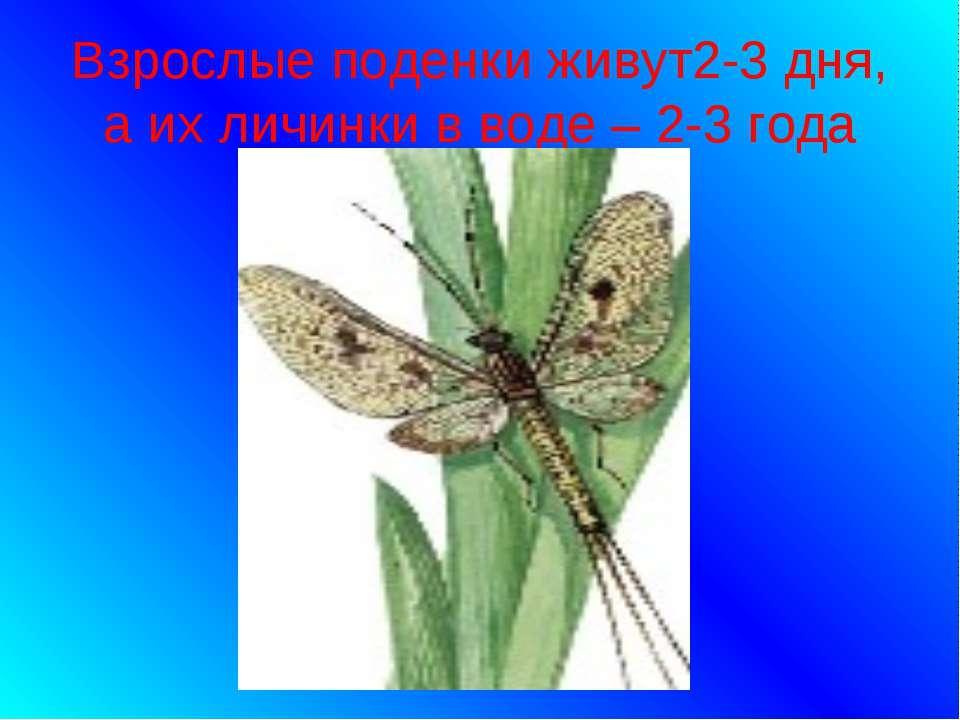 Взрослые поденки живут2-3 дня, а их личинки в воде – 2-3 года
