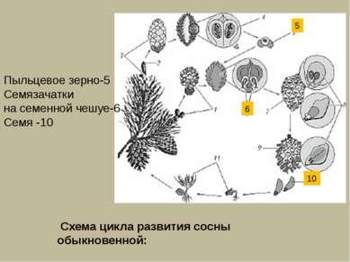 Пыльцевое зерно-5 Семязачатки на семенной чешуе-6 Семя -10 6 10 5 Схема цикла...