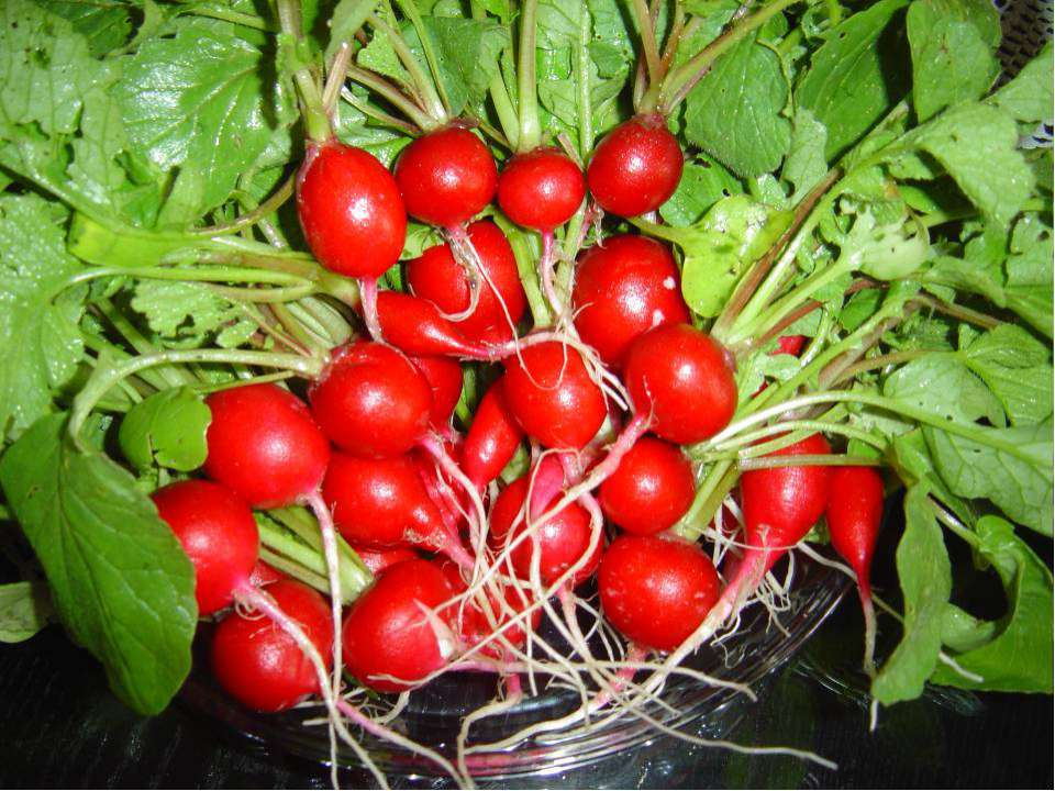 Однолетние или двулетние растения семейства Капустные. Съедобны, их выращиваю...