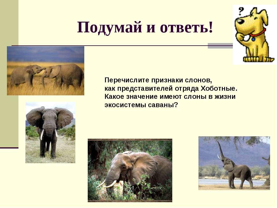 Подумай и ответь! Перечислите признаки слонов, как представителей отряда Хобо...