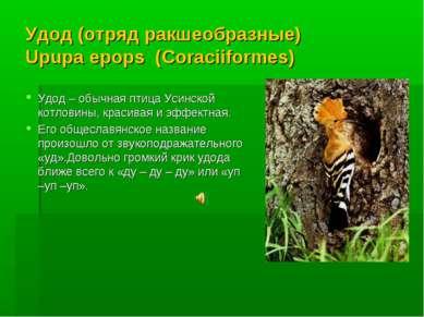 Удод (отряд ракшеобразные) Upupa epops (Coraciiformes) Удод – обычная птица У...