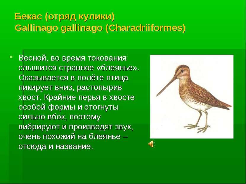 Бекас (отряд кулики) Gallinago gallinago (Charadriiformes) Весной, во время т...