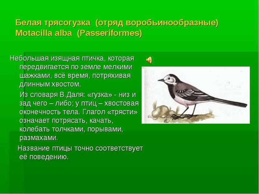 Белая трясогузка (отряд воробьинообразные) Motacilla alba (Passeriformes) Неб...