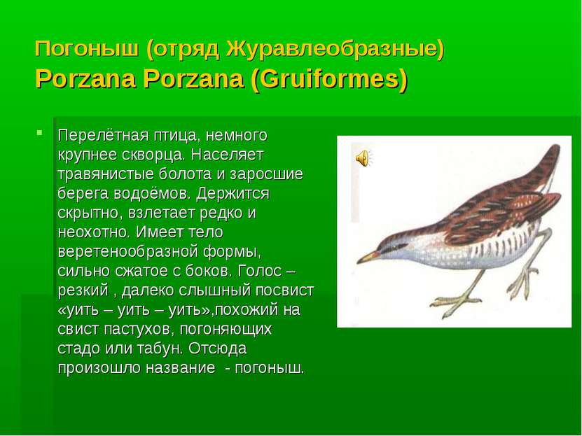 Погоныш (отряд Журавлеобразные) Porzana Porzana (Gruiformes) Перелётная птица...
