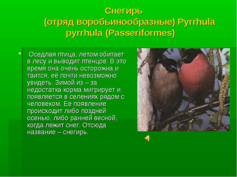 Снегирь (отряд воробьинообразные) Pyrrhula pyrrhula (Passeriformes) Оседлая п...