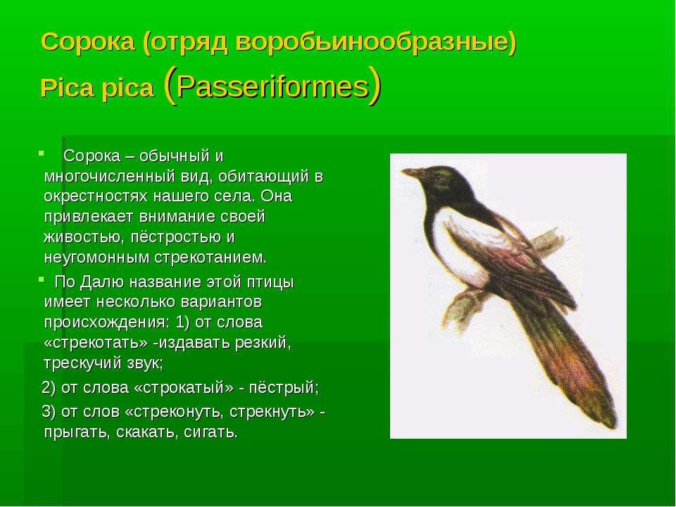 Сорока (отряд воробьинообразные) Pica pica (Passeriformes) Сорока – обычный и...