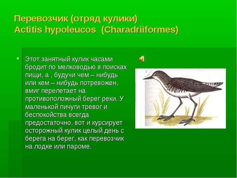 Перевозчик (отряд кулики) Actitis hypoleucos (Charadriiformes) Этот занятный ...