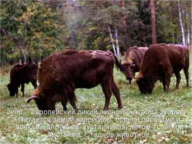 Зубр – европейский дикий лесной бык рода зубров. Питается зимой корой ивы, ос...