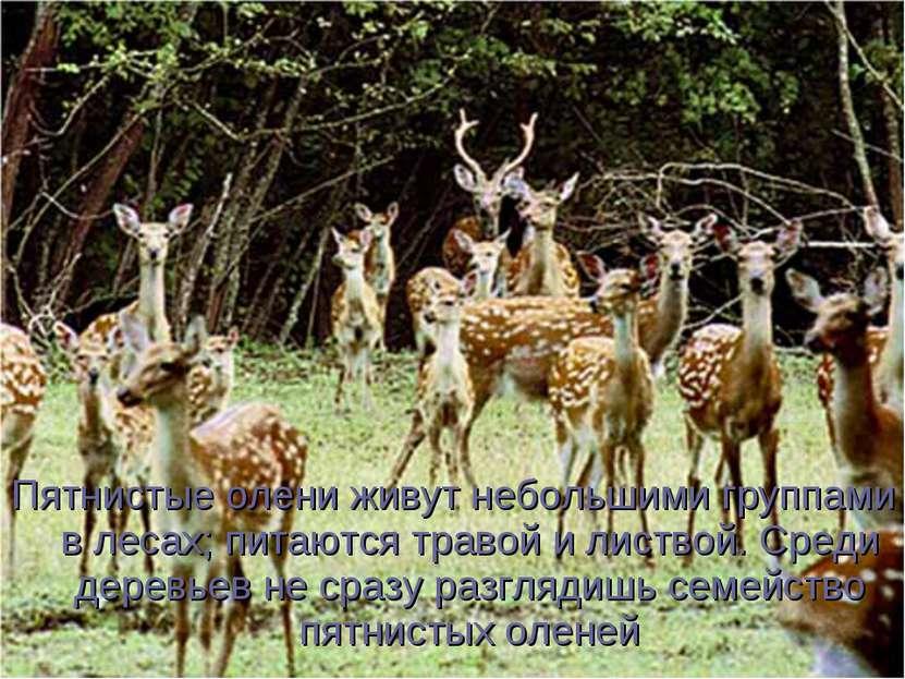 Пятнистые олени живут небольшими группами в лесах; питаются травой и листвой....